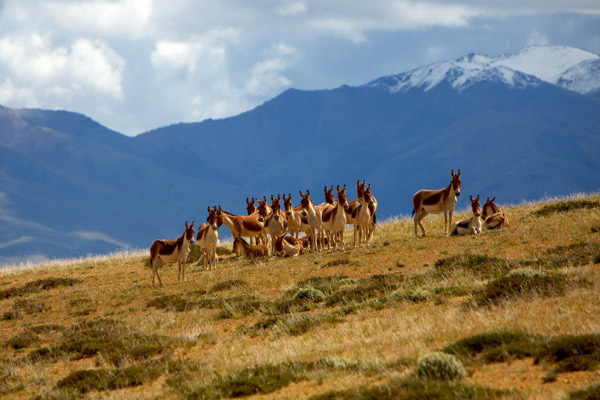 Tibetan Autumn scenery with wild animals