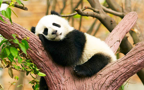 12 Days Chengdu Panda and Tibet Train Tour