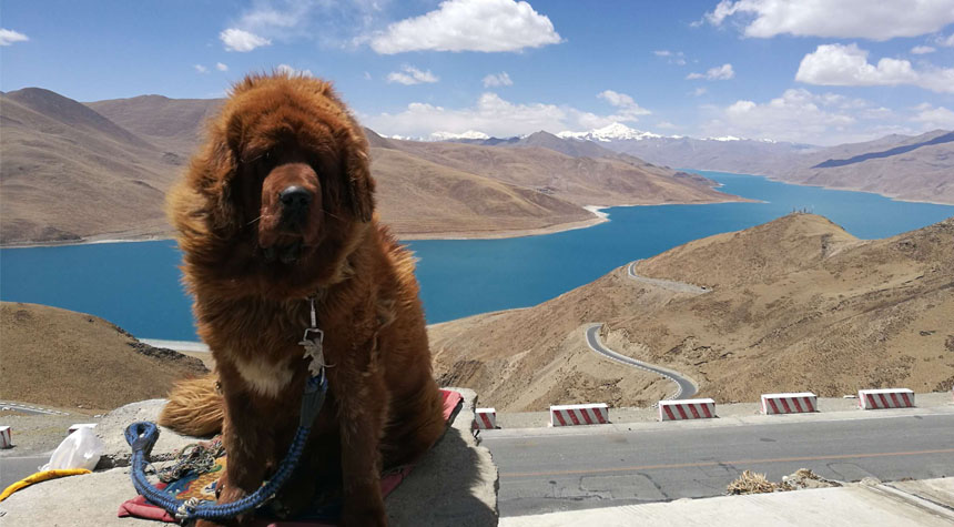 Take a Tibet Mastiff photo at Yamdrok Lake