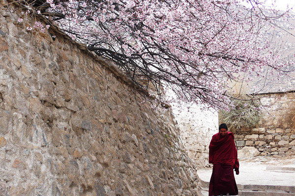 Peach Blossoms in Drupung Monastery, Lhasa