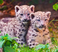Conservation Center Set up for Snow Leopards