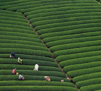 Tea-picking Season Arrives at World's Highest Plantation