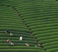 Tea-picking Season Arrives at World's Highest Plantation