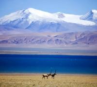 Tibetan antelope begins migration in Tibet