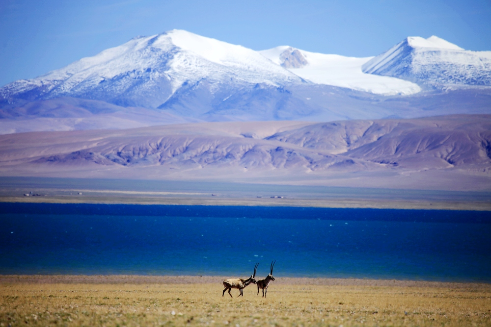 Tibetan antelope begins migration in Tibet